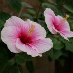 南インドの花