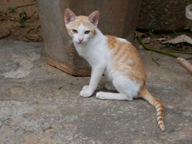 インドの子猫