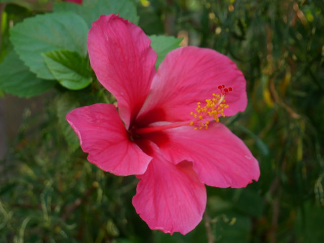 インドの花