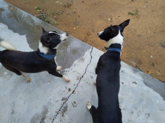 インドの番犬