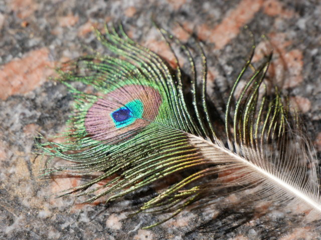 孔雀の羽根